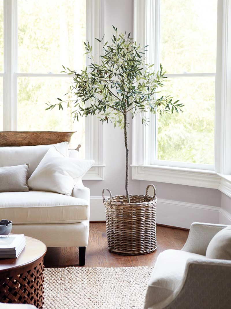 indoor-olive-tree-2