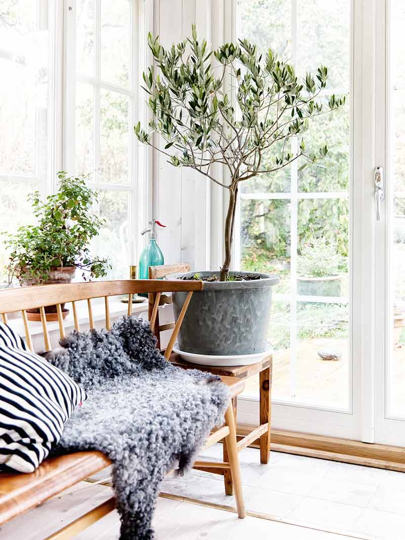 indoor-olive-tree-3-2