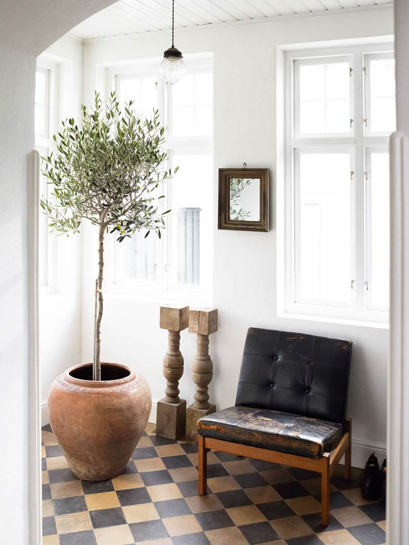 indoor-olive-tree-9