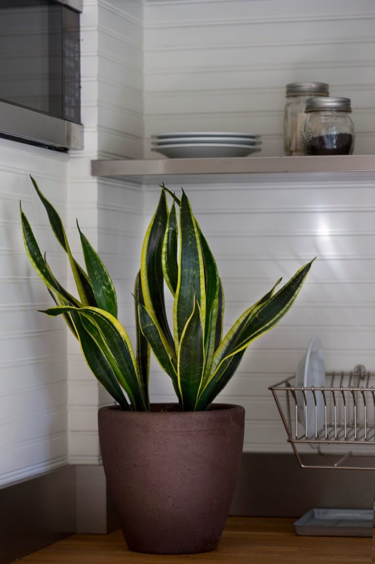 sansevieria-low-light-houseplant-mimi-giboin-106-733x1100