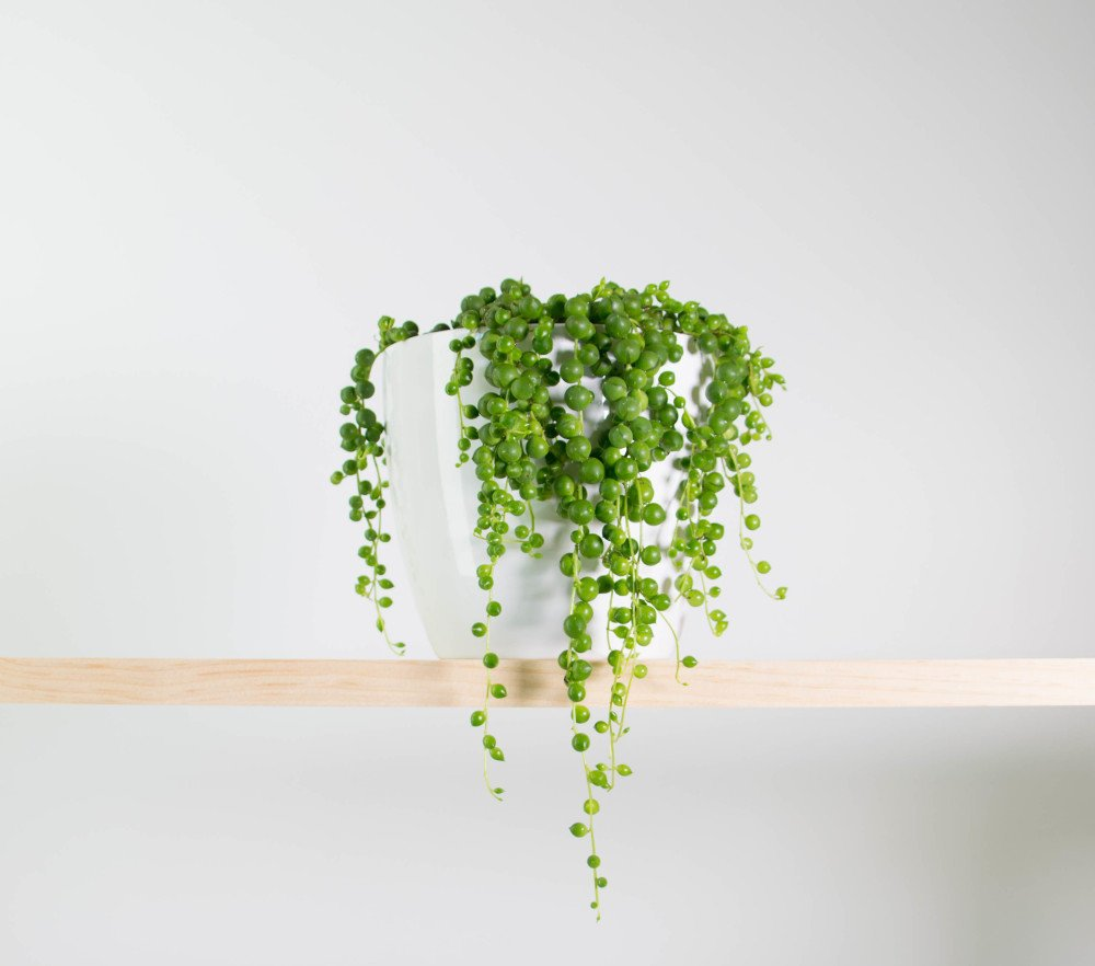 String-of-Pearls-in-Simple-White-Pot-e1471826583626